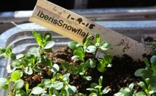 Выращивание рассады ибериса: приближаем цветение очаровательного и ароматного растения