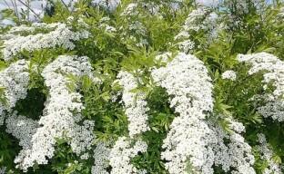 Выращиваем на дачном участке нежную спирею: советы по посадке и уходу за кустарником