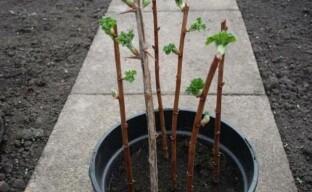 Размножение йошты вегетативным способом: как быстро получить новые растения