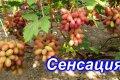 Один из самых вкусных ранних гибридов — виноград Сенсация, описание сорта