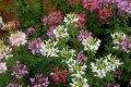 Необычные паучки на клумбах — клеома, посадка и уход за экзотическим цветком