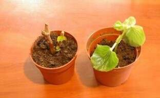 Выращивание вечноцветущей бегонии из черенка