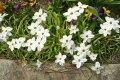 Нежный цветок ифейон — выращивание в открытом грунте