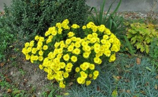 Выращивание многолетних хризантем