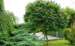 Нетребовательный «агрессор» – дерево сумах