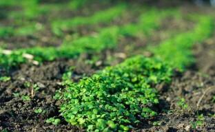 Удобрение и защита огорода с помощью горчицы