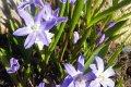 Представители флоры с едва уловимым запахом весны цветы хионодокса (посадка и уход)